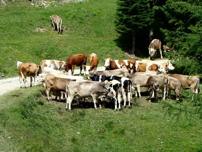 domenica 08 luglio 2012 - abbeveratorio del Ciadin a Col Vidal attorniato dalla ...mandria