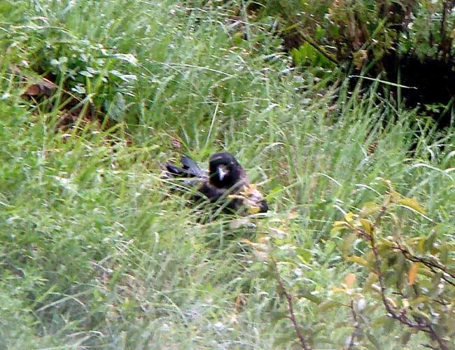 """Checo """"Livingstone"""", cornacchia grigia residente a Lozzo di Cadore (ora errante) - 001"""