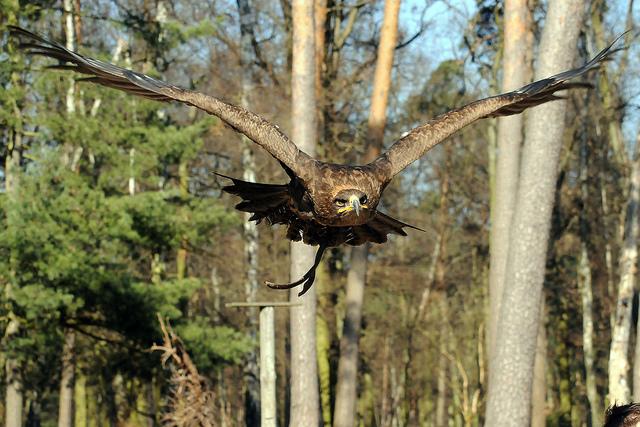 Aquila in volo (Joachim S. Muller - http://www.flickr.com/photos/joachim_s_mueller/)