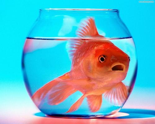 pesce_rosso_500