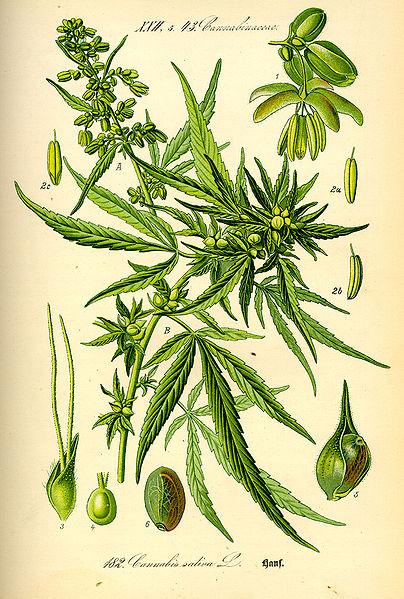 404px-Illustration_Cannabis_sativa0